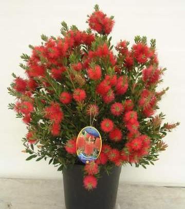 Plantas de exterior jardiflor for Plantas aromaticas exterior todo el ano
